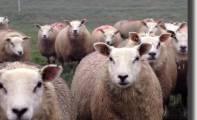 07art_sheeps