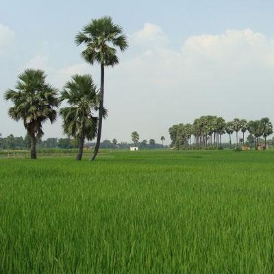 India, la rivoluzione del riso